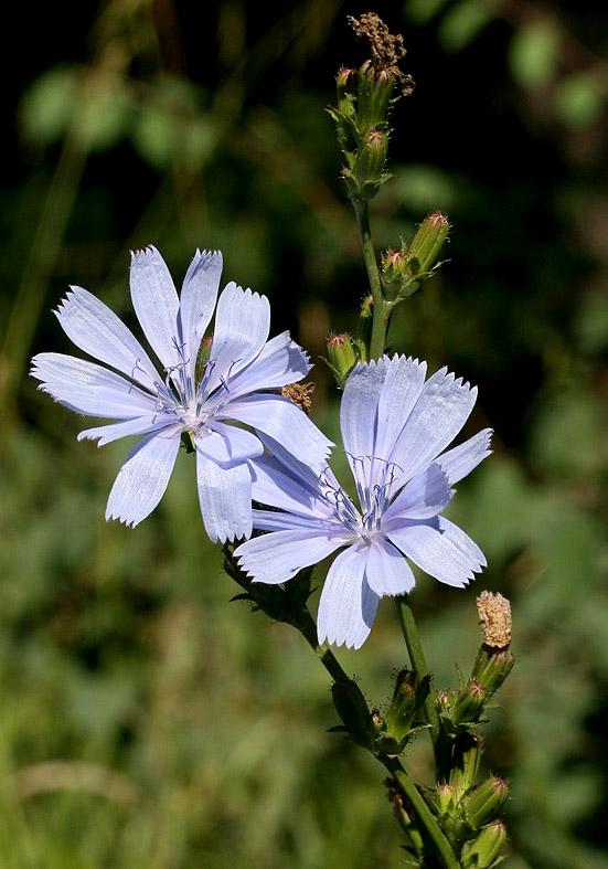 Cichorium intybus - Wegwarte - Fam. Asteraceae - Wegrand, Ruderalpflanzen - ruderal species