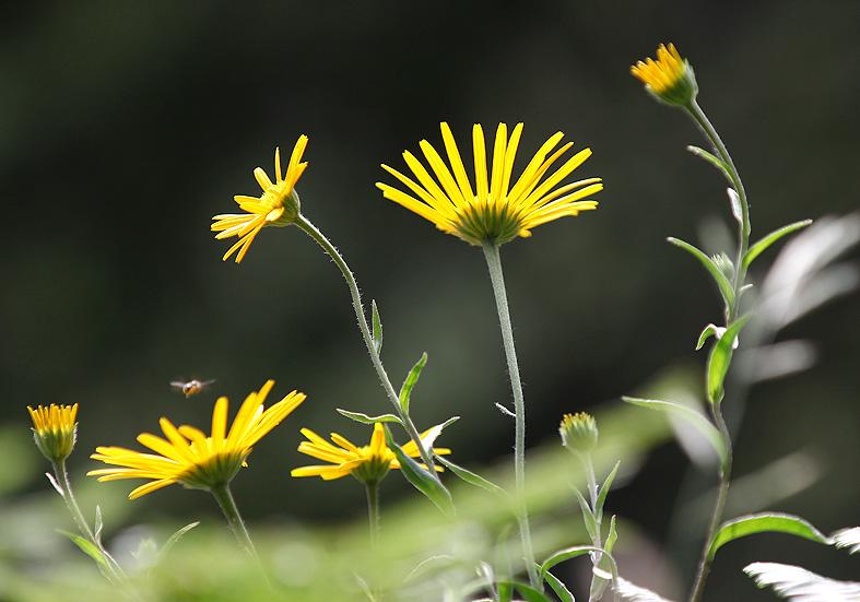 Buphthalmum salicifolium - Weidenblättriges Rindsauge   - Fam. Asteraceae - Wald - forest