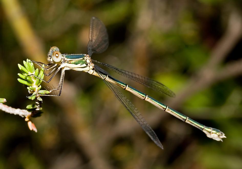 Lestes viridis - Weidenjungfer - Fam. Lestidae  -  Ikaria - Zygoptera - Kleinlibellen - damselflies