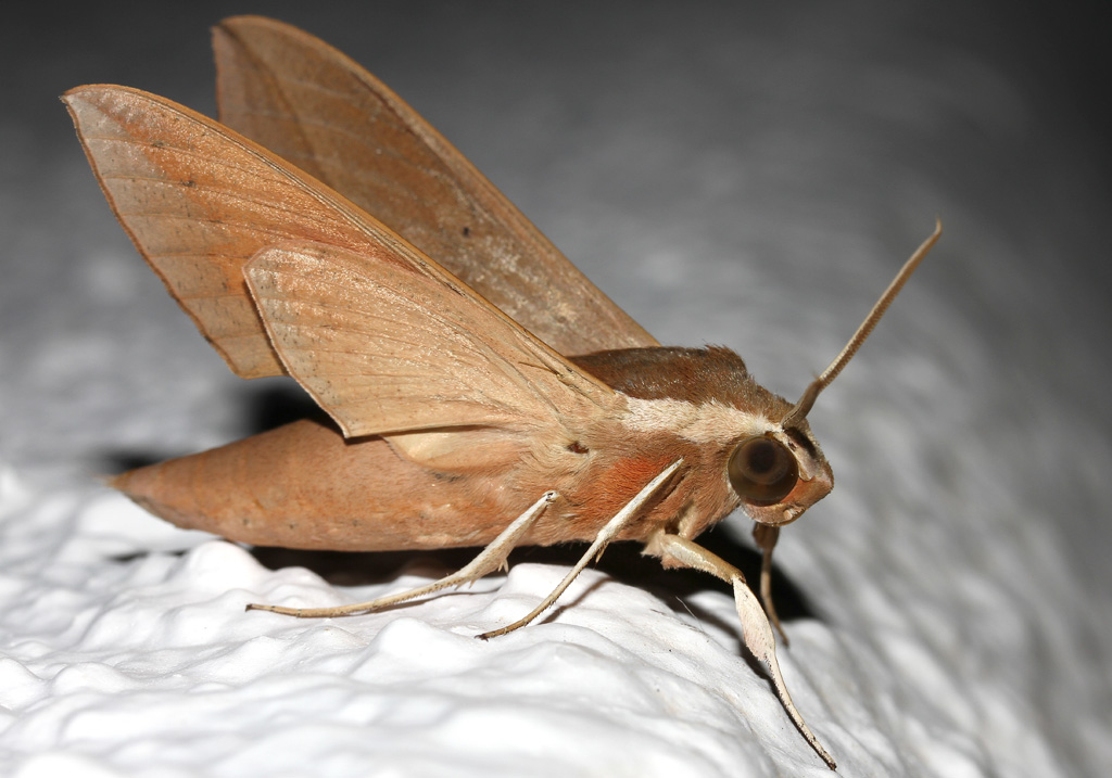 Theretra alecto - Orientalischer Weinschwärmer - Fam. Sphingidae (Schwärmer)  -  Serifos - Nachtfalter - moths