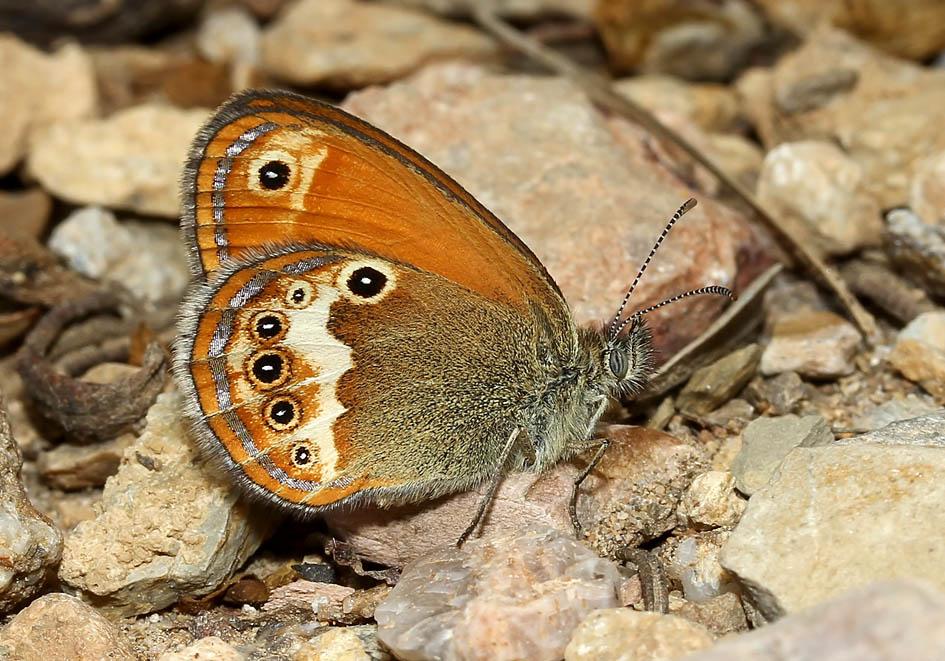 Coenonympha arcania - Weißbindiges Wiesenvögelchen - Toscana - Nymphalidae - Edelfalter - brush-footed butterflies
