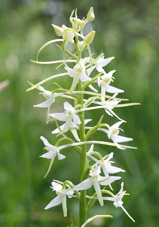 Platanthera bifolia - Weiße Waldhyazinthe - Fam. Orchidaceae - Wald - forest