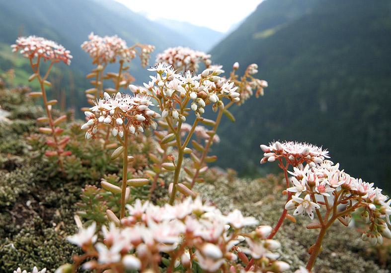 Sedum album - Weißer Mauerpfeffer - Fam. Grassulaceae - Fels - rocks