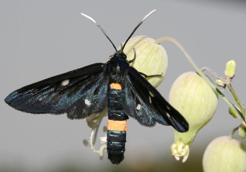 Amata (Syntomis)  phegea - Weissfleckenwidderchen  - Fam. Erebidae /Arctiinae   -  Kroatien - Nachtfalter - moths