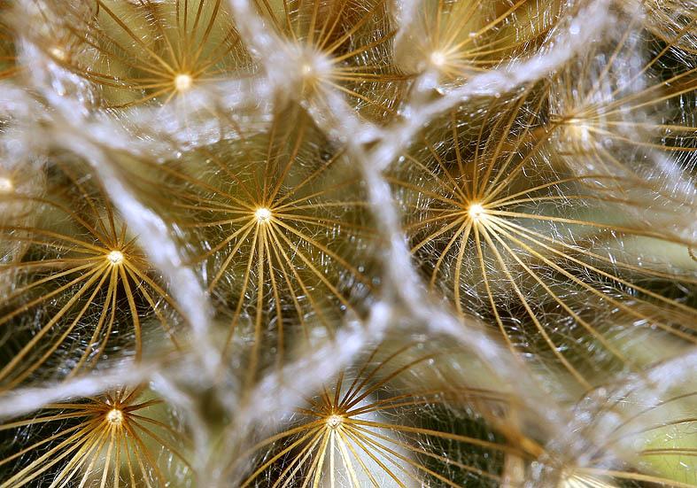 Tragopogon pratensis orientalis - Wiesen-Bocksbart - Fam. Asteraceae - Wiesen - meadows