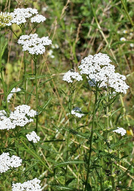 Achillea millefolium - Wiesen-Schafgarbe - Fam. Asteraceae - Wiesen - meadows