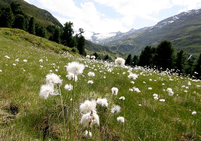 Eriophorum scheuchzeri - Scheuchzers Wollgras - Fam. Cyperaceae - Alpine Feuchtwiesen - alpine wetlands