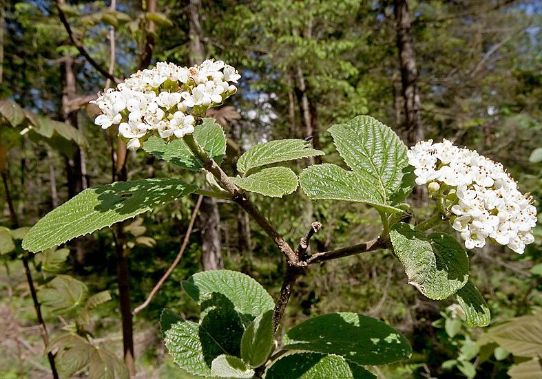 Viburnum lantana - Wolliger Schneeball - Fam. Caprifoliaceae - Wald - forest