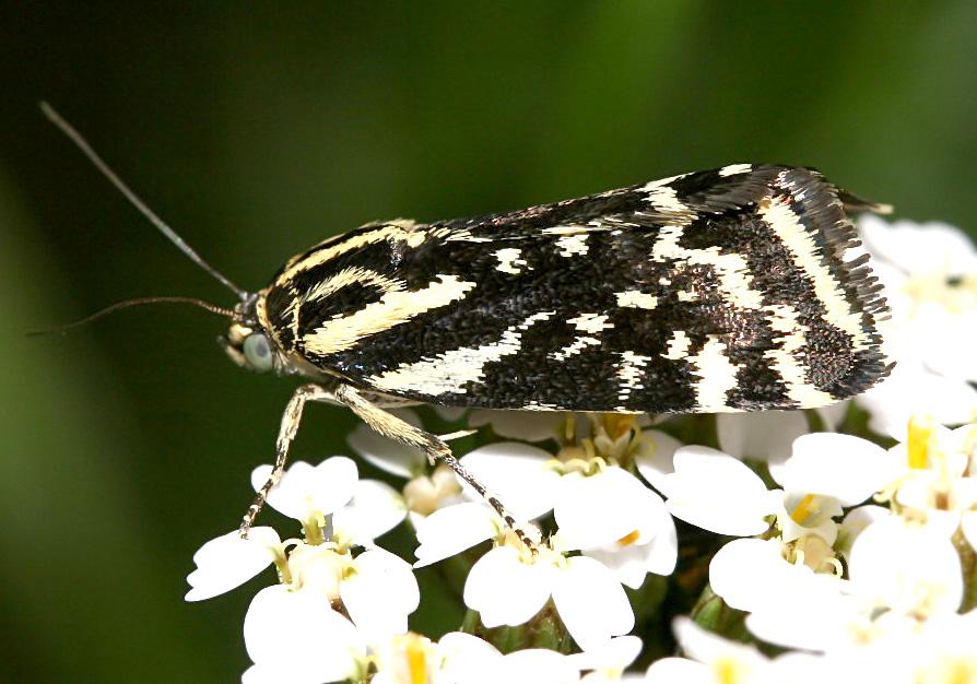 Acontia trabealis - Ackerwinden-Bunteule -  - Noctuidae - Eulen - owlet moths