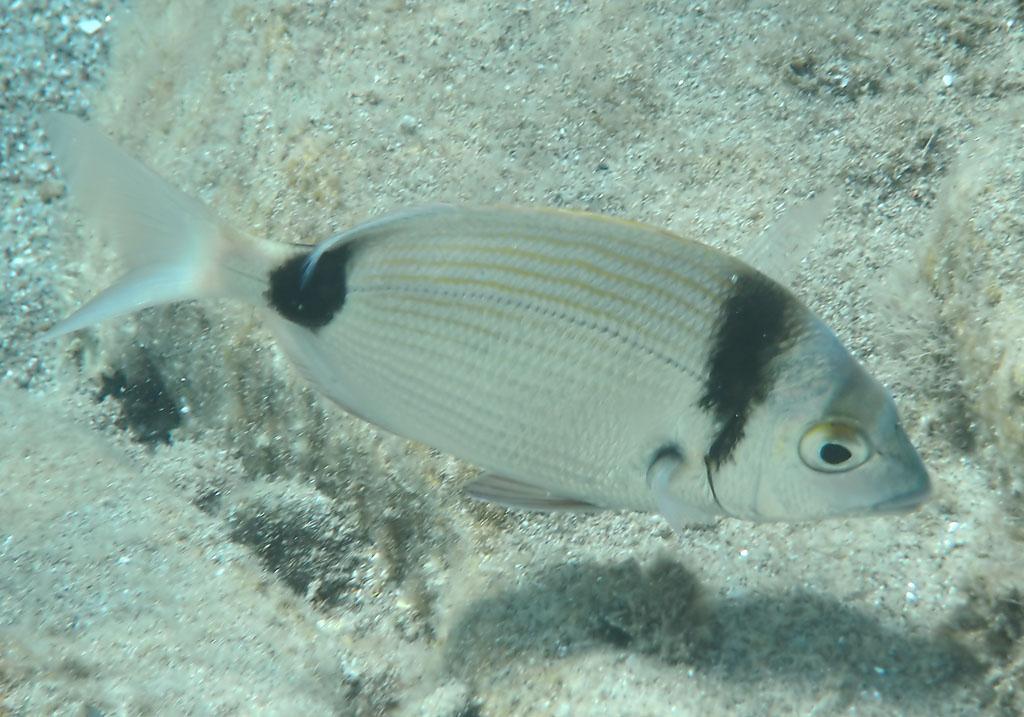 Diplopus vulgaris - Zweibindenbrasse -  - Pisces - Fische - fish