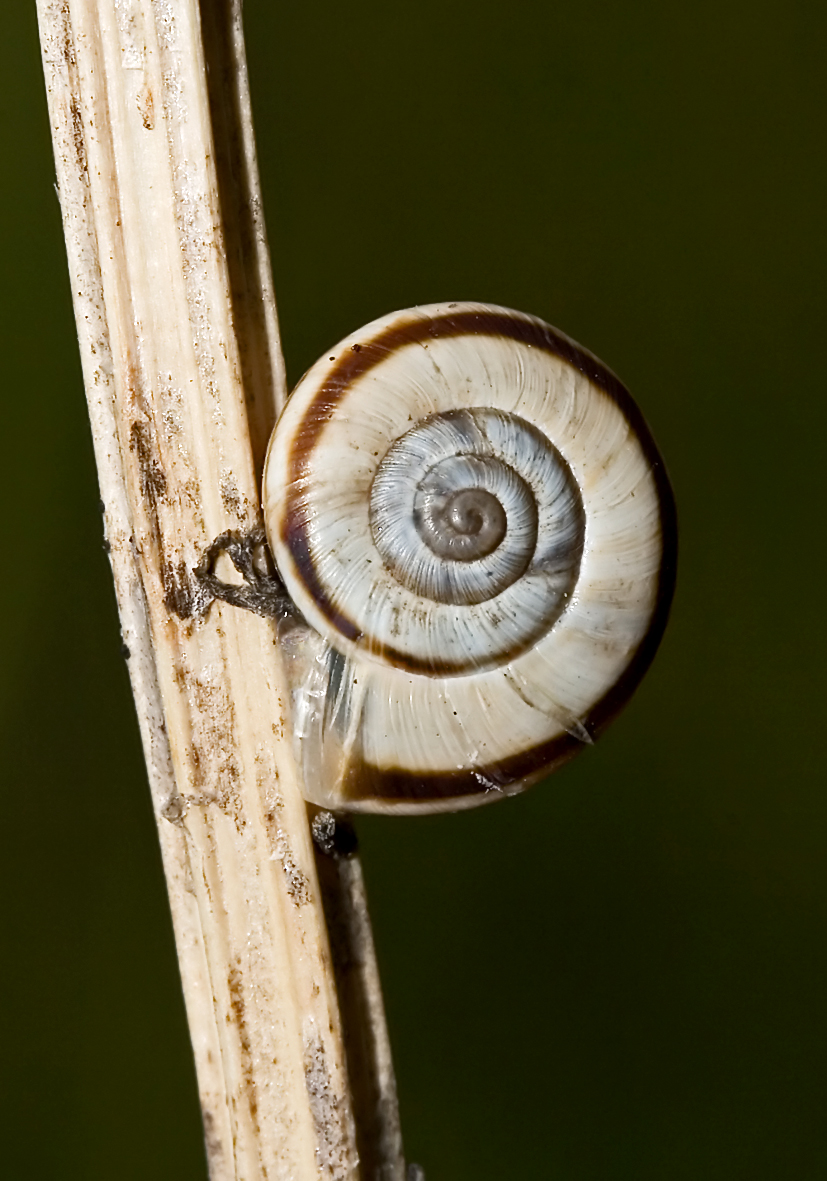 Xerolenta obvia - Weiße Heideschnecke - Fam. Laubschnecken - Hygromiidae - Stylommatophora - Landlungenschnecken - snails, slugs