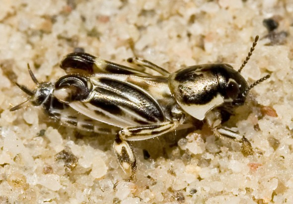 Xya variegata - Gefleckte Grabschrecke - Fam. Tridactylidae - Grabschrecken - Weitere Geradflügler - other orthopters