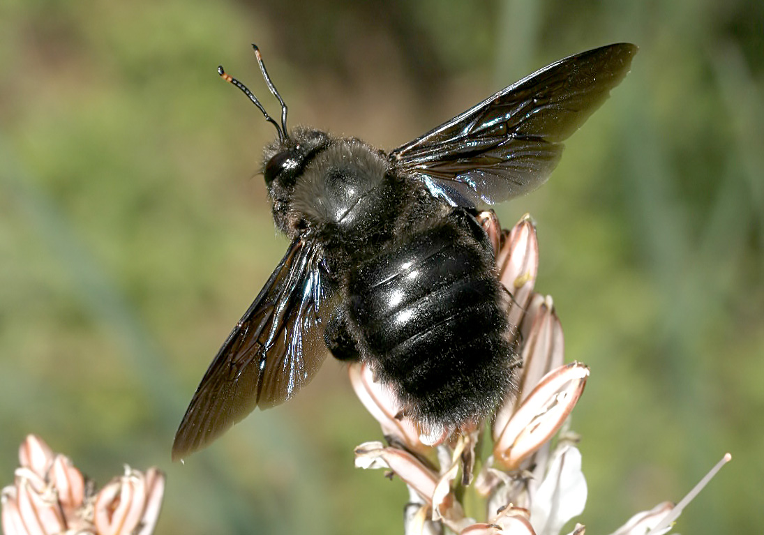 Xylocopa violacea - Holzbiene  - Naxos - Apidae - Bienen - bees