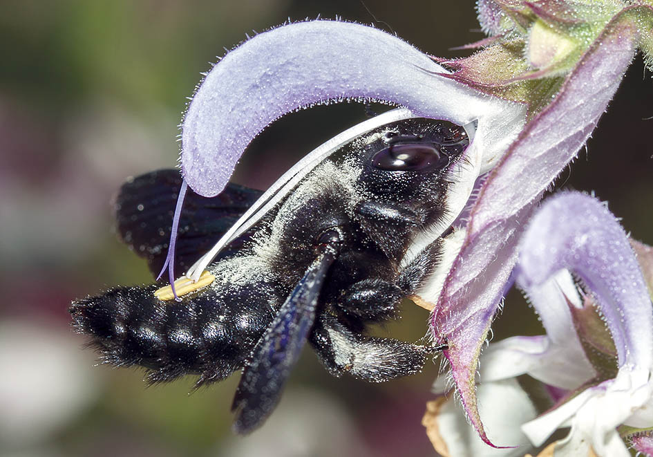 Xylocopa violacea -  Blauschwarze Holzbiene (female)  - Salvia sclarea - Apiformes - Apidae - Bienen - Bees