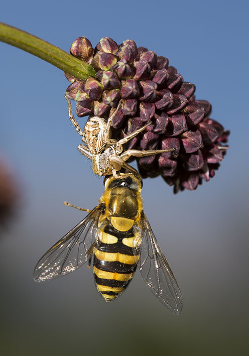 Cysticus cristatus -  - Araneae - Webspinnen - orb-weaver spiders