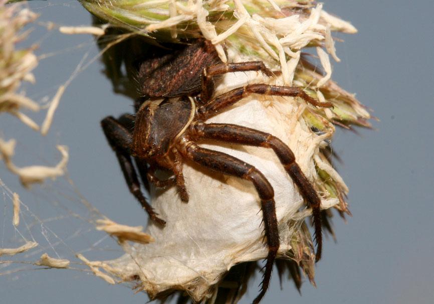 Xysticus sp. - Fam. Thomisidae  - Kroatien - Araneae - Webspinnen - orb-weaver spiders