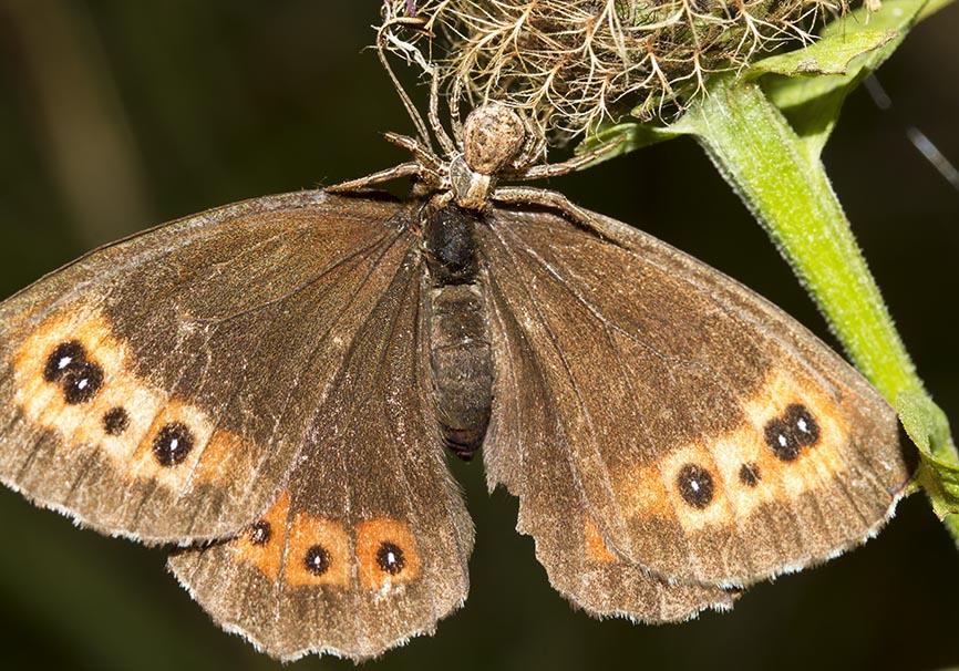 Xysticus sp. - Fam.  Thomisidae - Krabbenspinnen - Araneae - Webspinnen - orb-weaver spiders