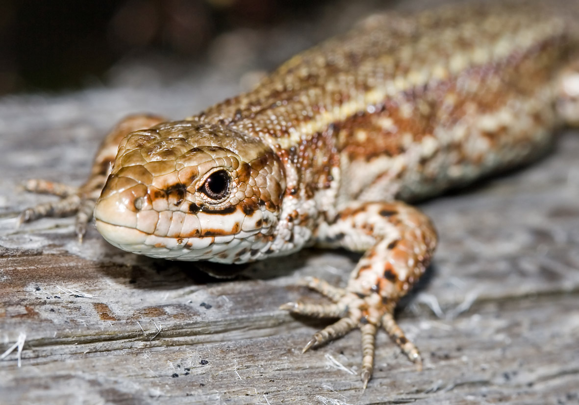 Zootoca vivipera - Bergeidechse -  - Lacertilia - Echsen - lizards