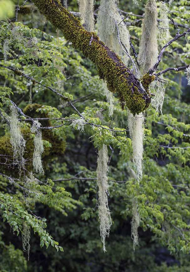 Zagori  Baumflechten -  - Northern Pindus - Zagori