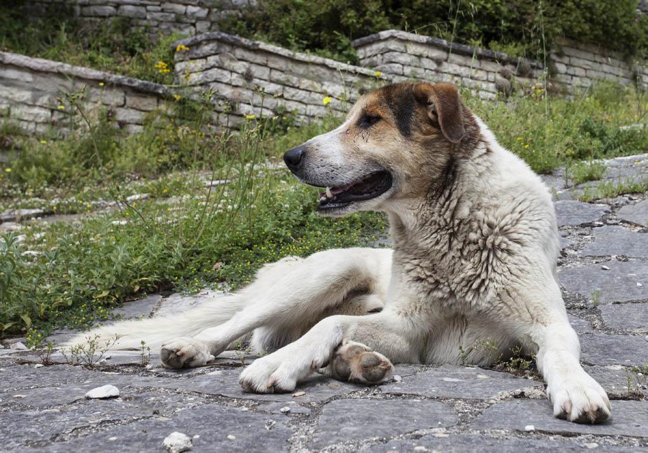 Zagori - Griechischer Hirtenhund -  - Northern Pindus - Zagori