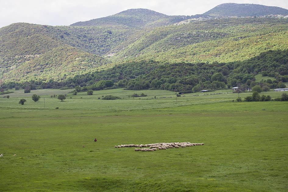 Zagori - Schafherde -  - Northern Pindus - Zagori