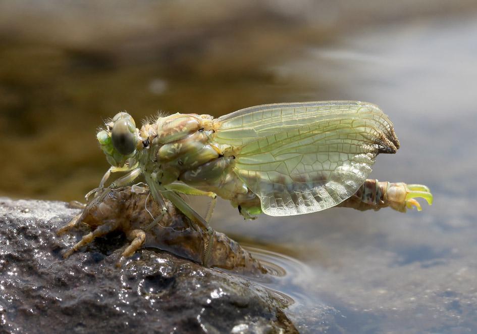 Onychogomphus forcipatus - Kleine Zangenlibelle - Fam. Gomphidae  -  Lesbos - Anisoptera - Großlibellen - dragonflies