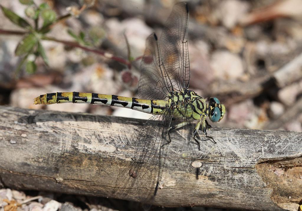 Zangenlibelle - Onychogomphus forcipatus - Fam. Gomphidae  -  Lesbos - Anisoptera - Großlibellen - dragonflies