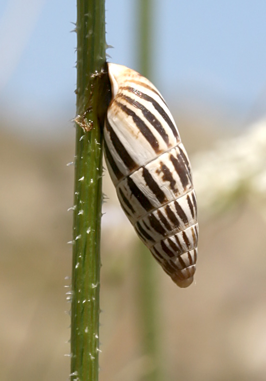 Zebrina  fasciolata - Rhodos - Gastropoda - Schnecken - snails