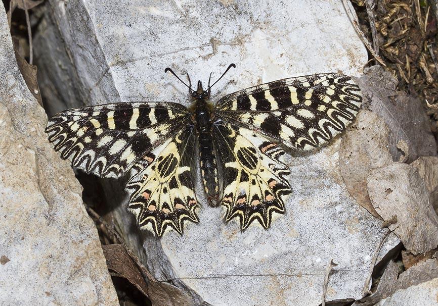 Zerynthia polyxena  - Osterluzeifalter - Zagori - Epirus  - Papilionidae - Ritterfalter - swallowtail butterfly