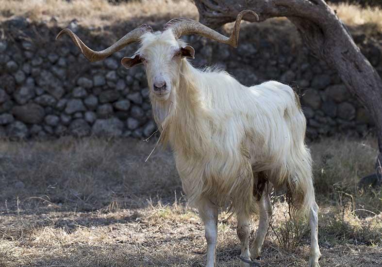 Ziegenbock - Nisyros - Haustiere - domestic animals