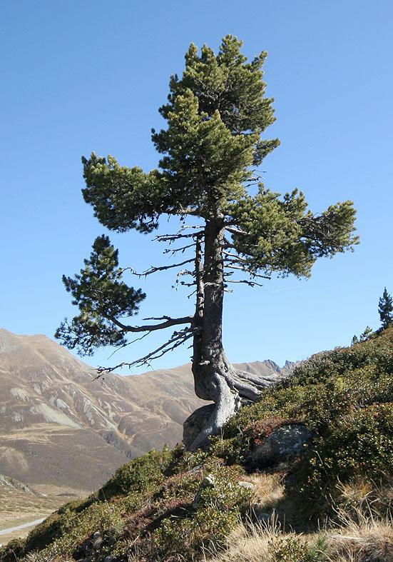 Pinus cembra - Zirbe - Fam. Pinaceae - Bergwald/Waldgrenze - mountain forest/timberline
