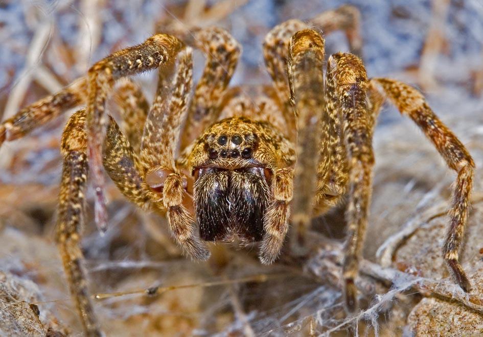 Zoropsis sp. - Kräuseljagdspinne - Fam. Zoropsidae  -  Lefkas - Araneae - Webspinnen - orb-weaver spiders
