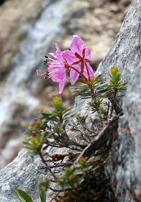 Rhodothamnus chamaecistus - Zwerg-Alpenrose  - Fam. Ericaceae - Felsschutt - gravel