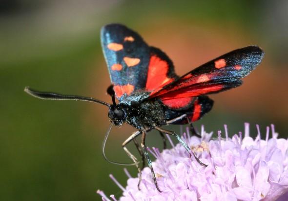 Zygaena ephialtes - Veränderliches Widderchen -  - Zygaenidae - Widderchen - burnet moths
