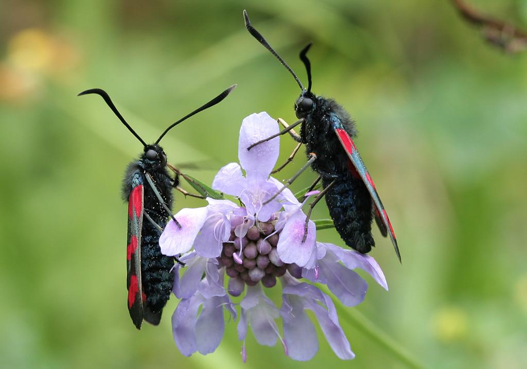 Zygaena filipendulae - Sechsfleckwidderchen -  - Zygaenidae - Widderchen - burnet moths