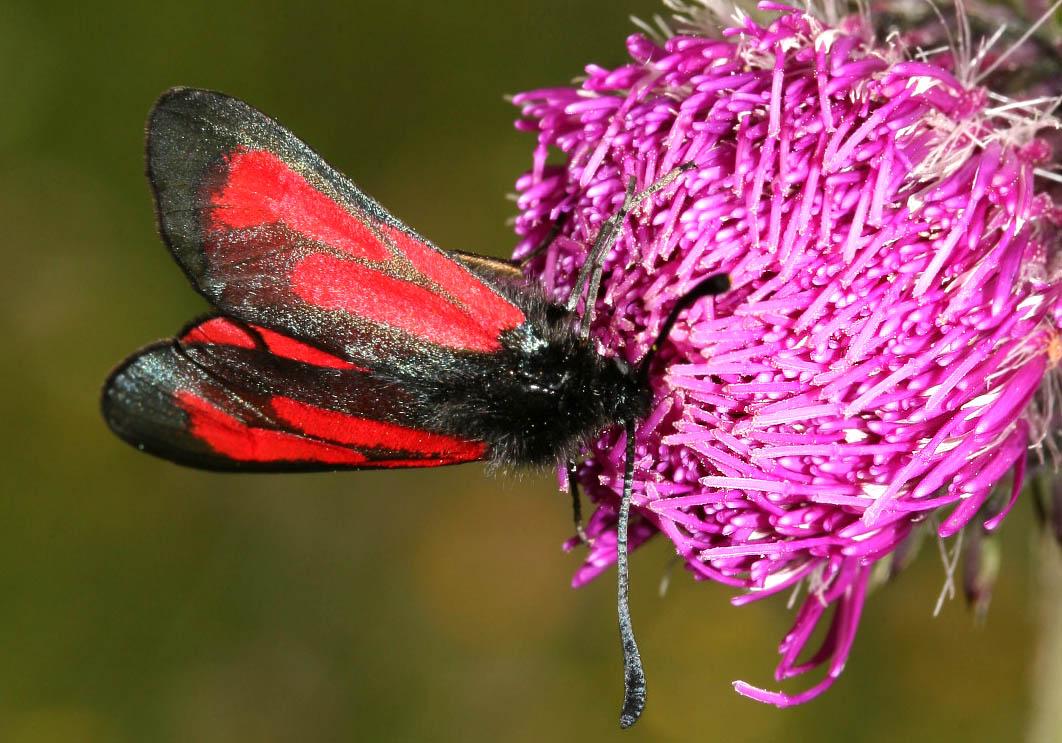 Zygaena purpuralis - Thymianwidderchen -  - Zygaenidae - Widderchen - burnet moths