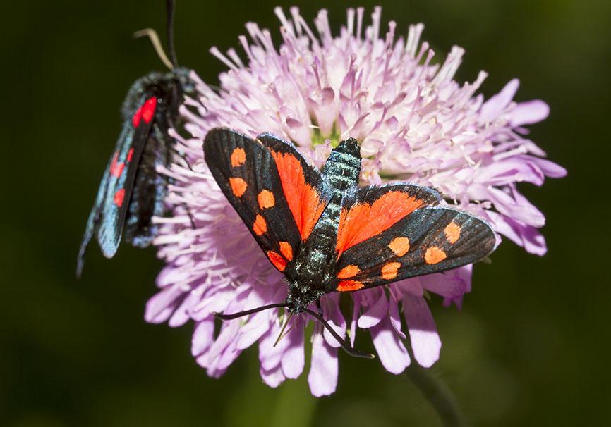 Zygaena transalpina   Hufeisenklee-Widderchen -  - Zygaenidae - Widderchen - burnet moths