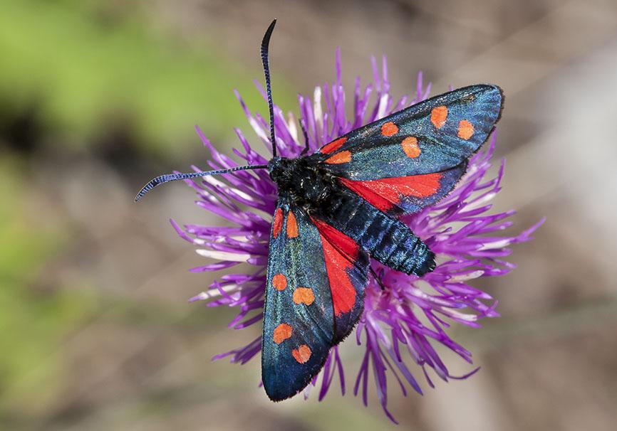 Zygaena transalpina  -  Hufeisenklee-Widderchen -  - Zygaenidae - Widderchen - burnet moths