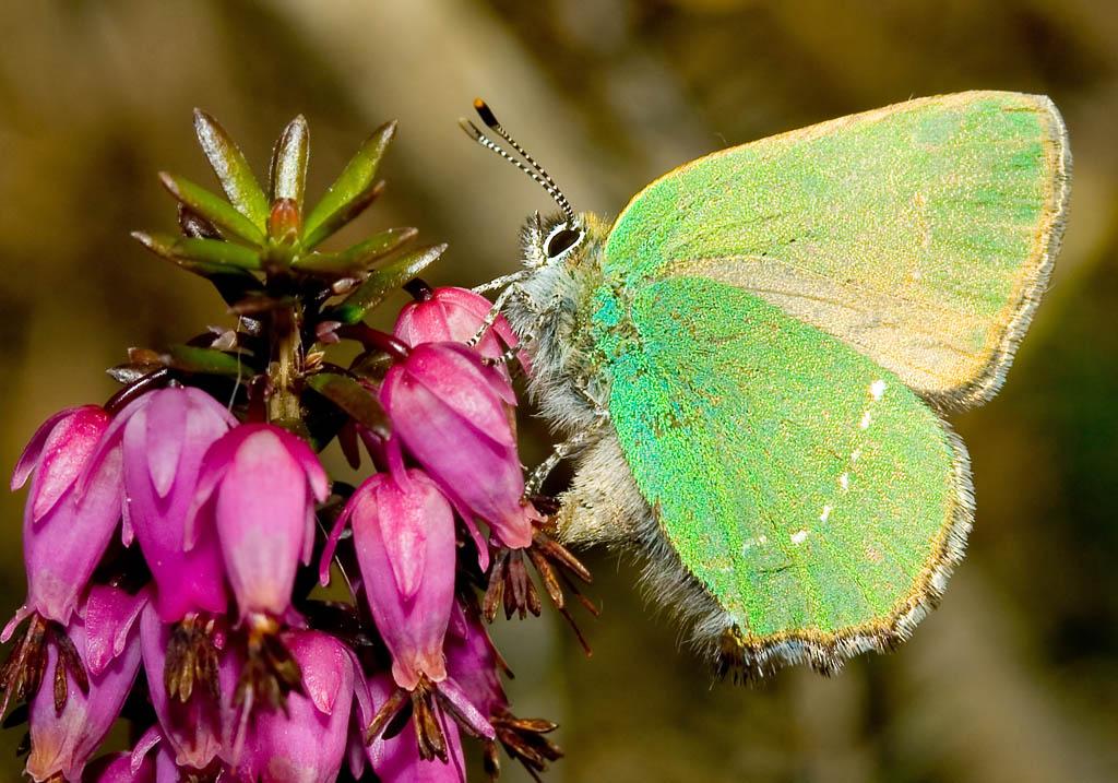 Callophrys rubi - Brombeerzipfelfalter -  - Lycaenidae - Bläulinge - gossamer-winged butterflies