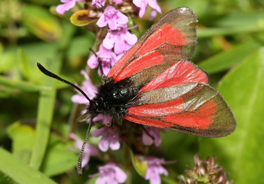 Zygaena purpuralis - Thymian-Widderchen -  - Zygaenidae - Widderchen - burnet moths
