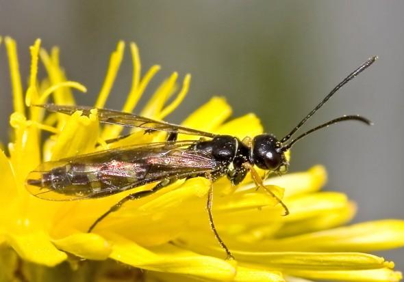 Cephidae - Halmblattwespe -  - Symphyta - Pflanzenwespen - sawflies