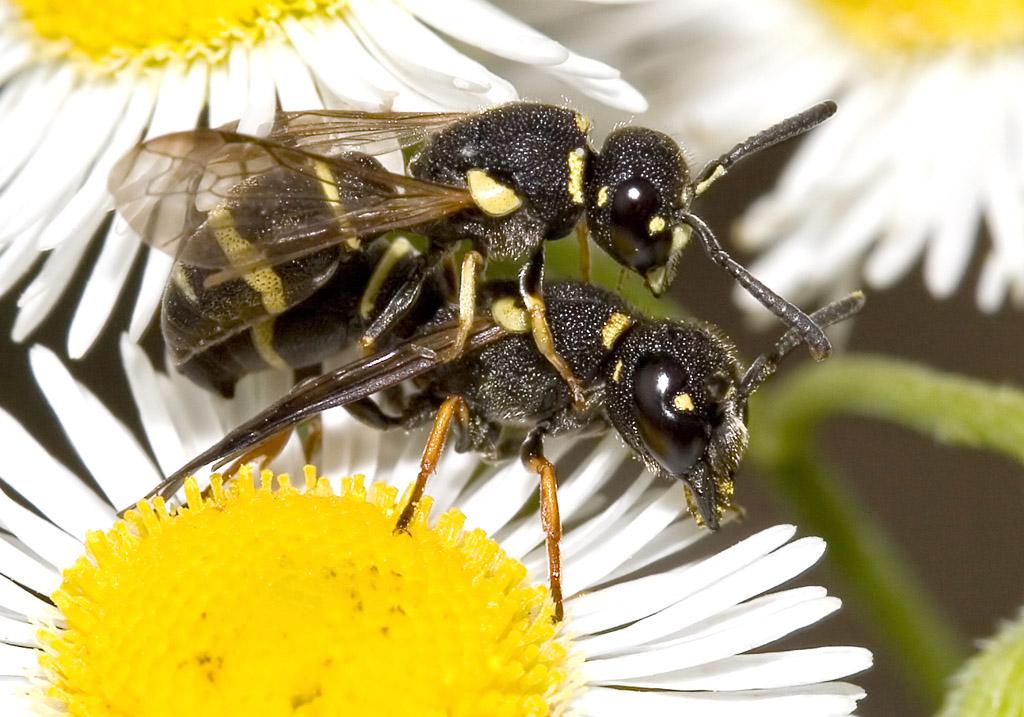 Ancistrocerus sp. - Lehmwespe -  - Vespidae - Faltenwespen - wasps