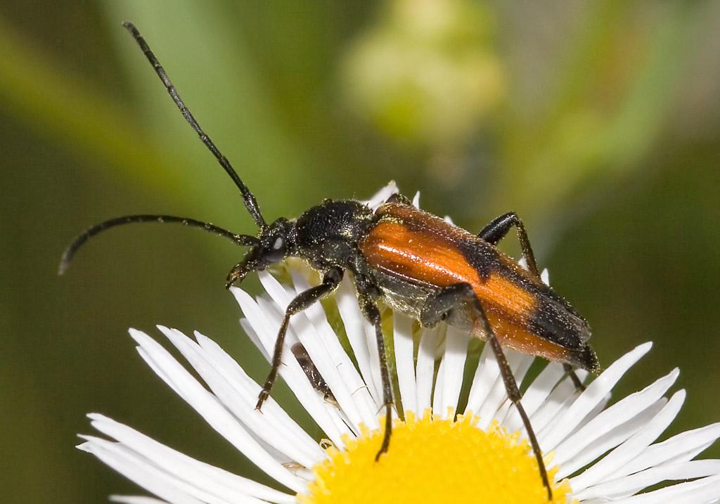 Stenurella bifasciata - Zweibindiger Schmalbock - UFam. Lepturinae - Cerambycidae - Bockkäfer - long-horned beetles