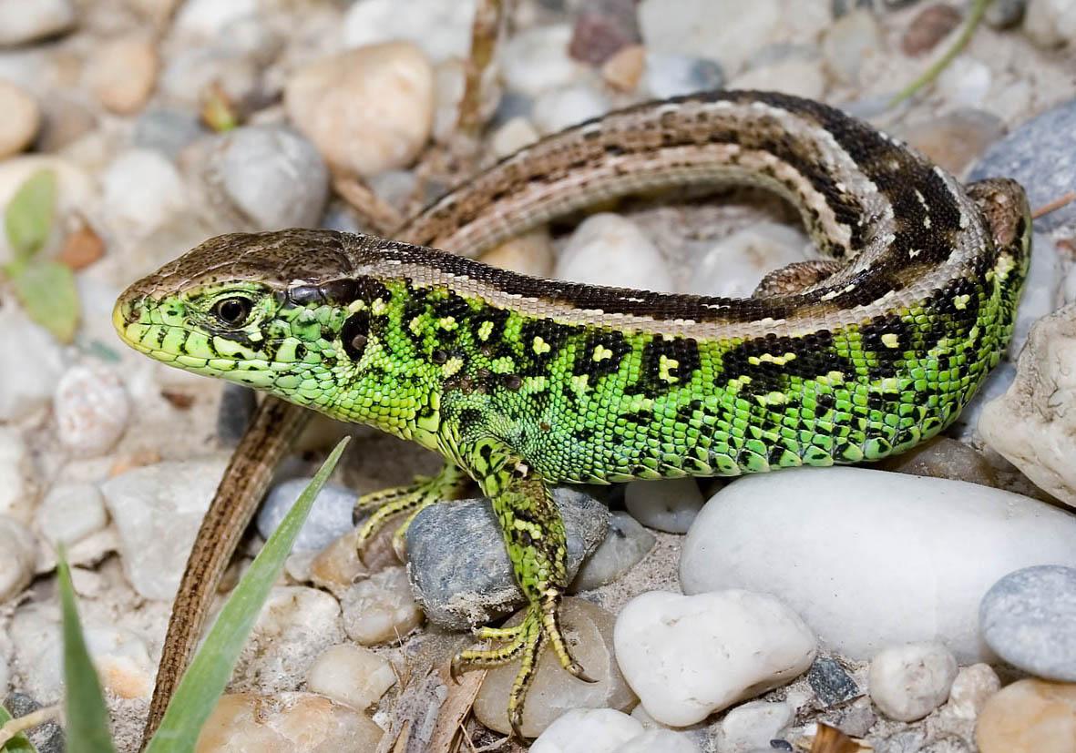 Lacerta agilis - Zauneidechse -  - Lacertilia - Echsen - lizards