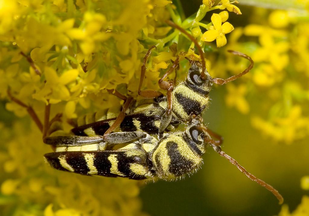 Plagionotus floralis - Widderbock - UFam. Cerambycinae - Cerambycidae - Bockkäfer - long-horned beetles
