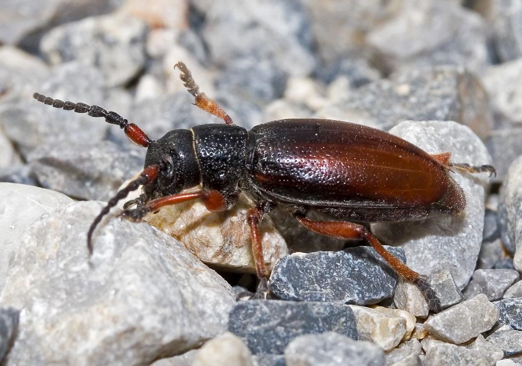 Dorcadion fulvum - UFam. Lamiinae - Cerambycidae - Bockkäfer - long-horned beetles
