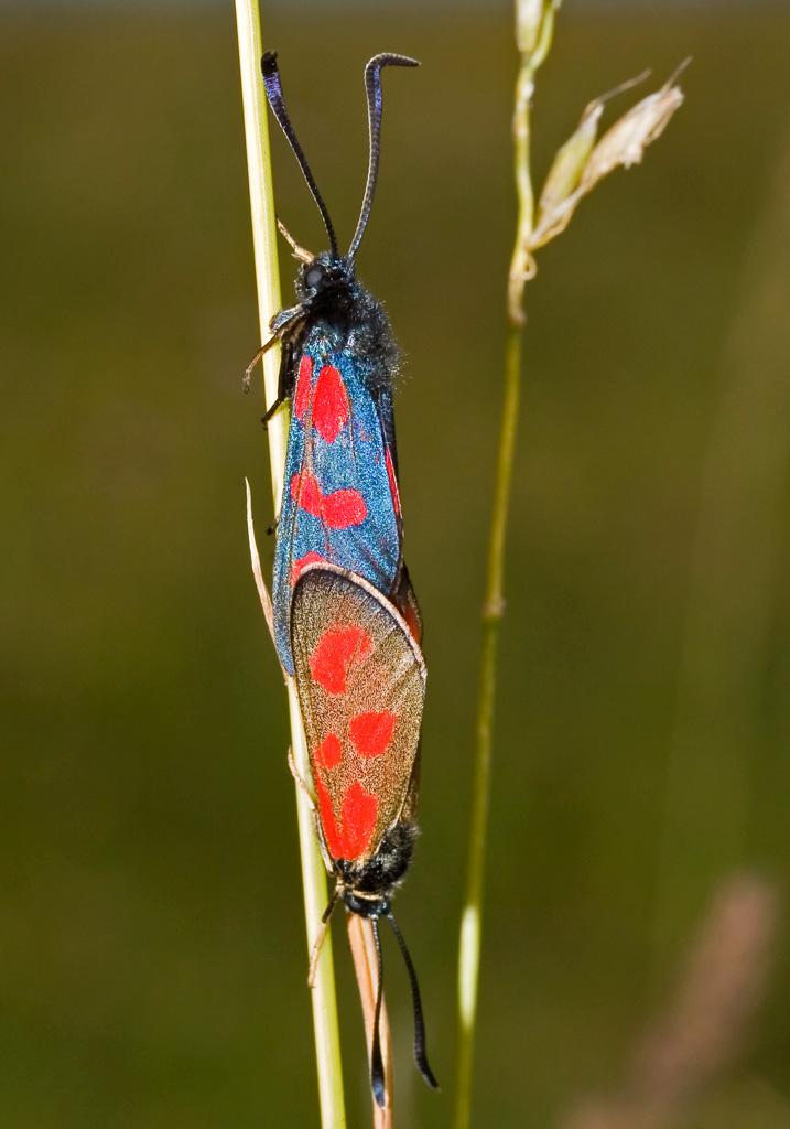 Zygaena loti - Beilfleck-Widderchen -  - Zygaenidae - Widderchen - burnet moths