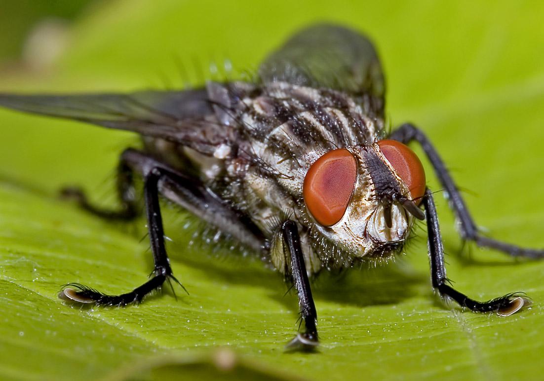 Sarcophaga sp. - Fleischfliege -  Fam. Sarcophagidae - Fleischfliegen - Brachycera (Fliegenartige) - Schizophora - muscoids