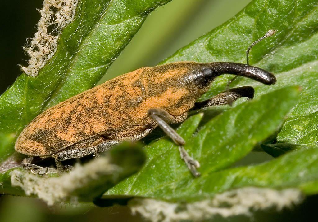 Lixus sp. -  - Curculionidae - Rüsselkäfer - weevils