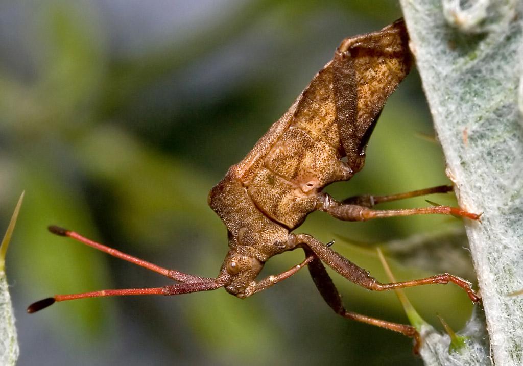 Coreus marginatus - Lederwanze - Fam. Coreidae - Randwanzen - Heteroptera - Wanzen - true bugs